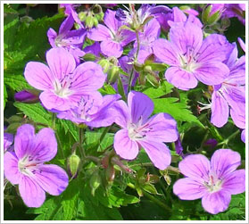 Alphabetical List Of Flowers G